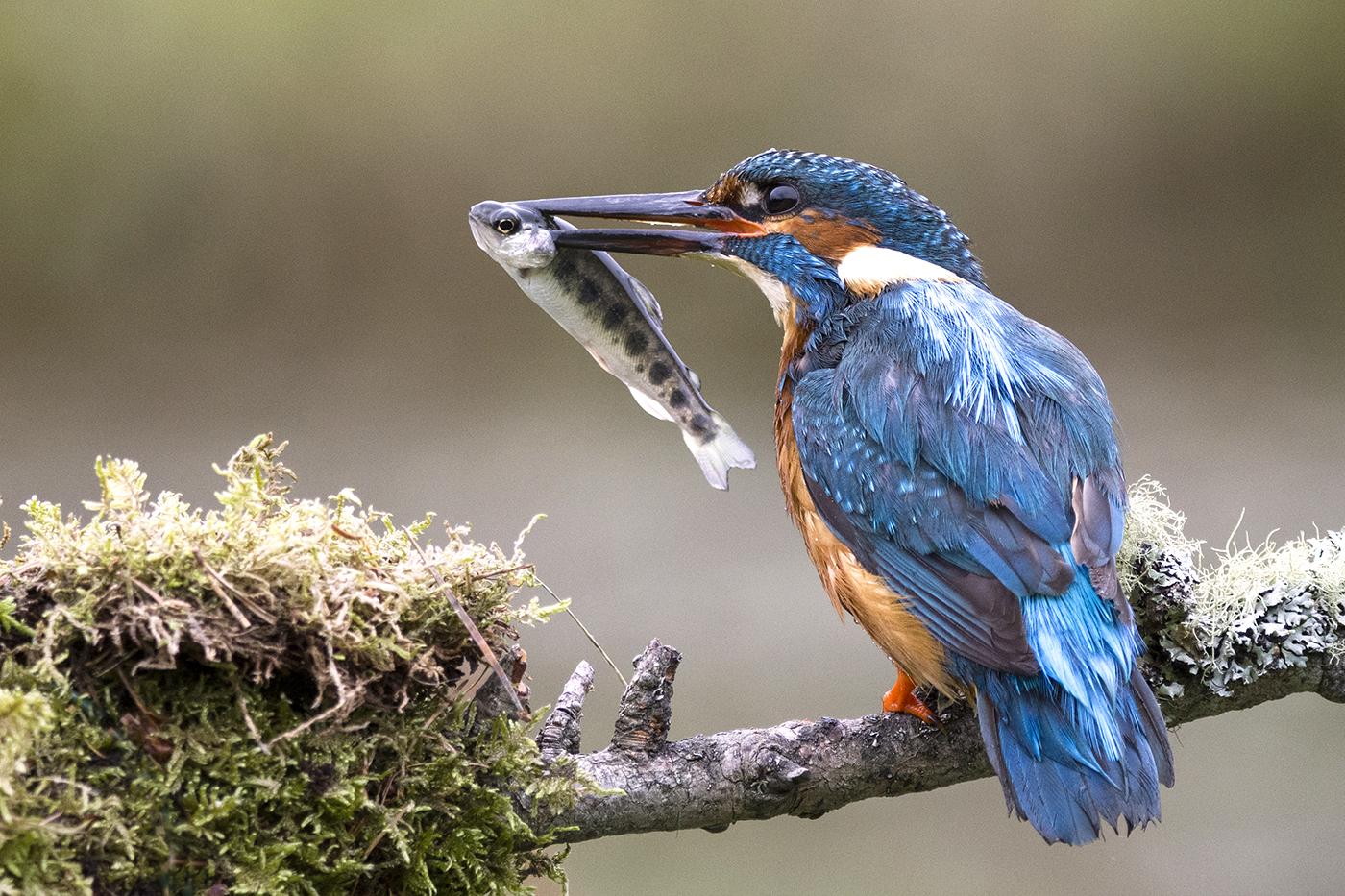 Kingfisher Feeding Young 2ndDigitals