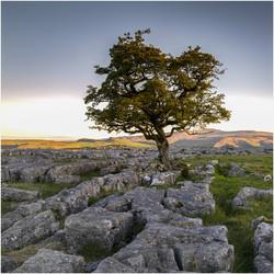 Lone Tree, Ribblesdale