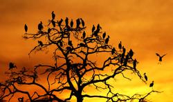 3rd Open Billed Storks Roosting - Robert Child