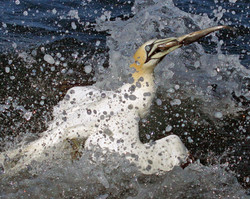 Gannet and Fish