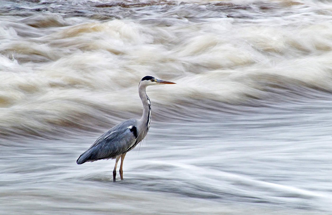 2nd Grey Heron - Robert Child