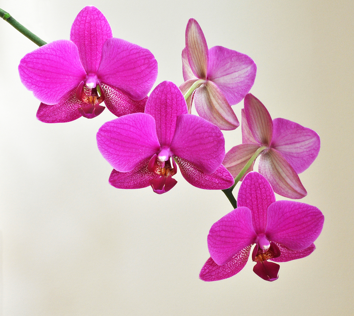 Orchid 2nd Digitals