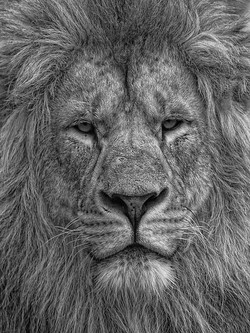 Lion - 3rd Digitals