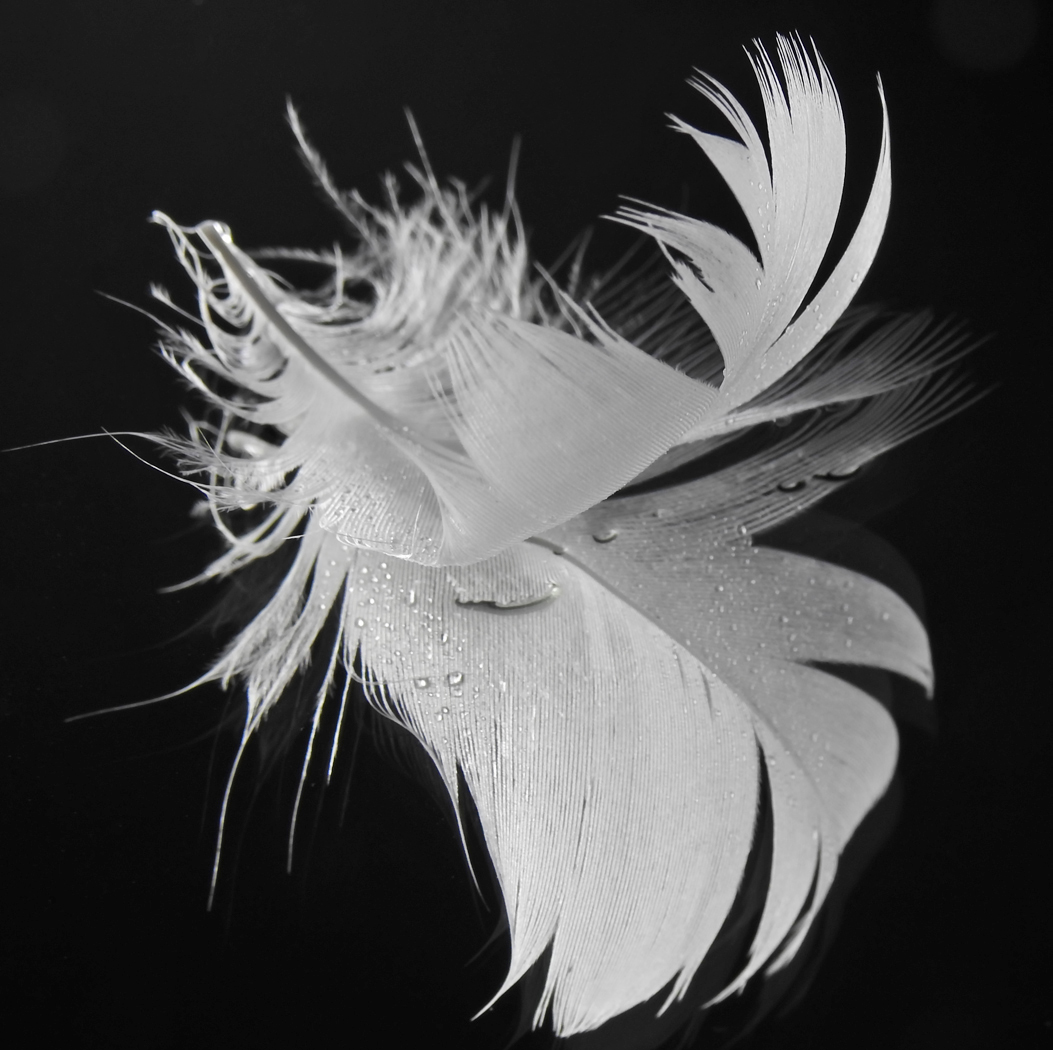 Swan Feather - Pauline Dent