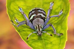 Blue Weevil Beetle 3rd Digitals