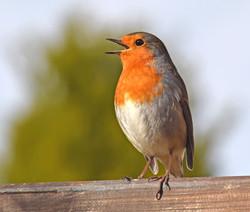 Singing Garden Robin