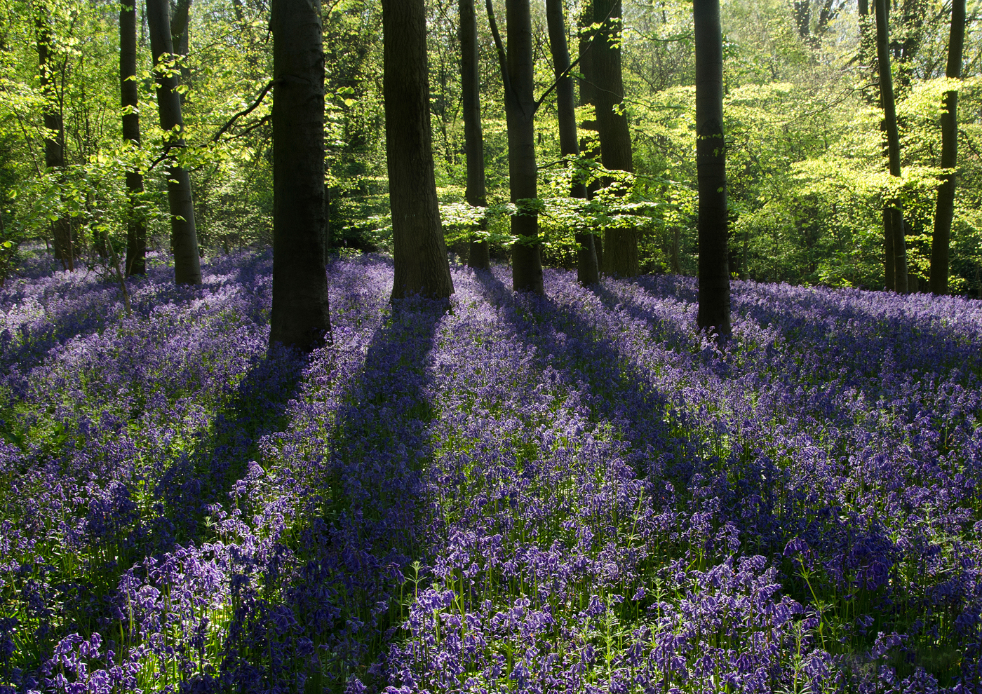 Magic of Bluebells