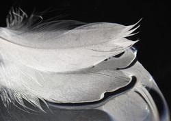 Swan Feather - Pauline Dent