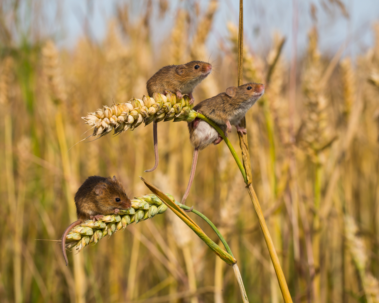 Harvest Mice by Paul Tymon