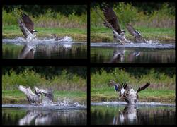 Osprey v Mallard 2nd