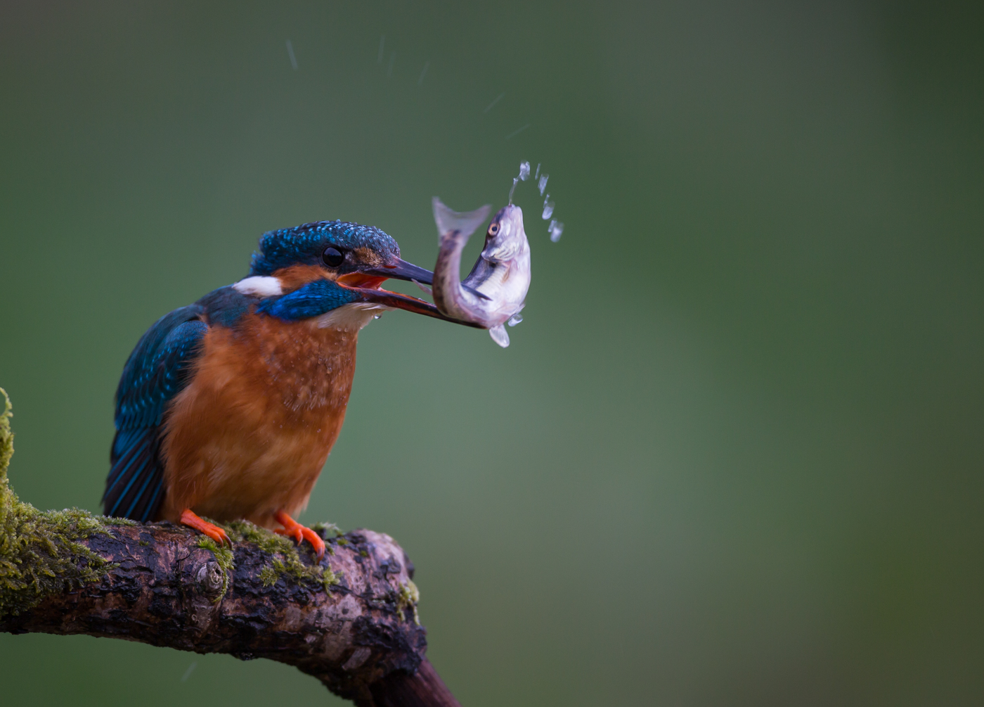 Kingfisher Stunning a Fish