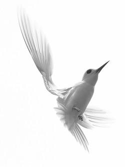Fairy Tern - 1st Digitals