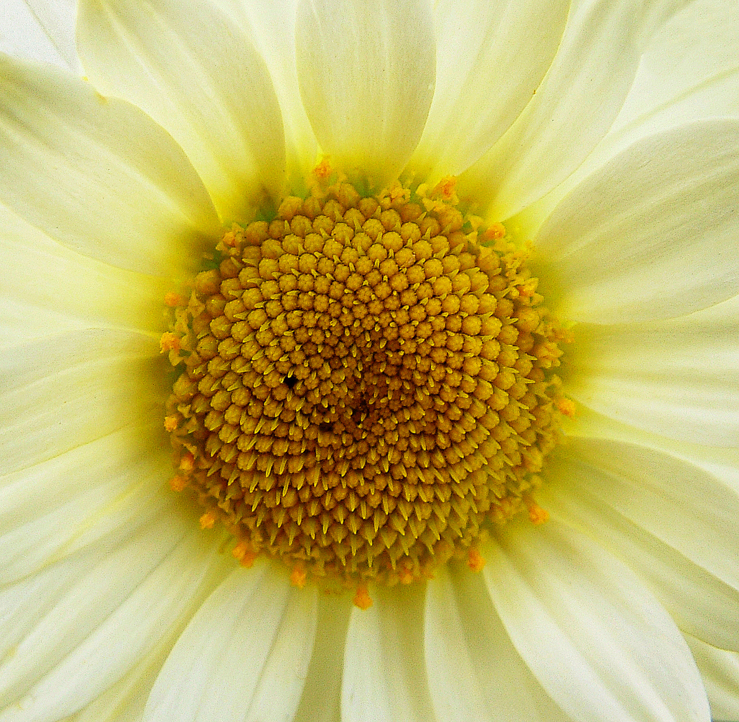 Chrysanthemum Close Up 2nd Digitals
