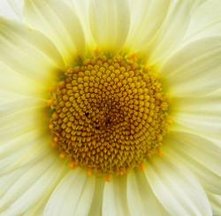 Chrysanthemum Close Up 2nd Digitals