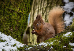 Red Squirrel 1st - Prints