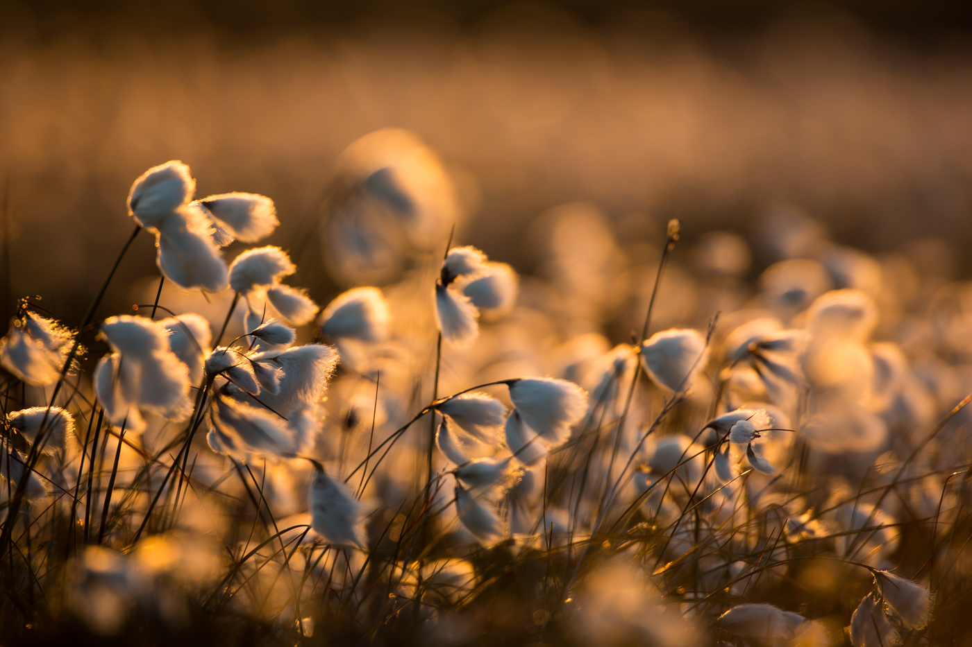 Common Cottongrass 1st Digitals
