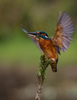 Kingfisher Touchdown - 19 - Prints