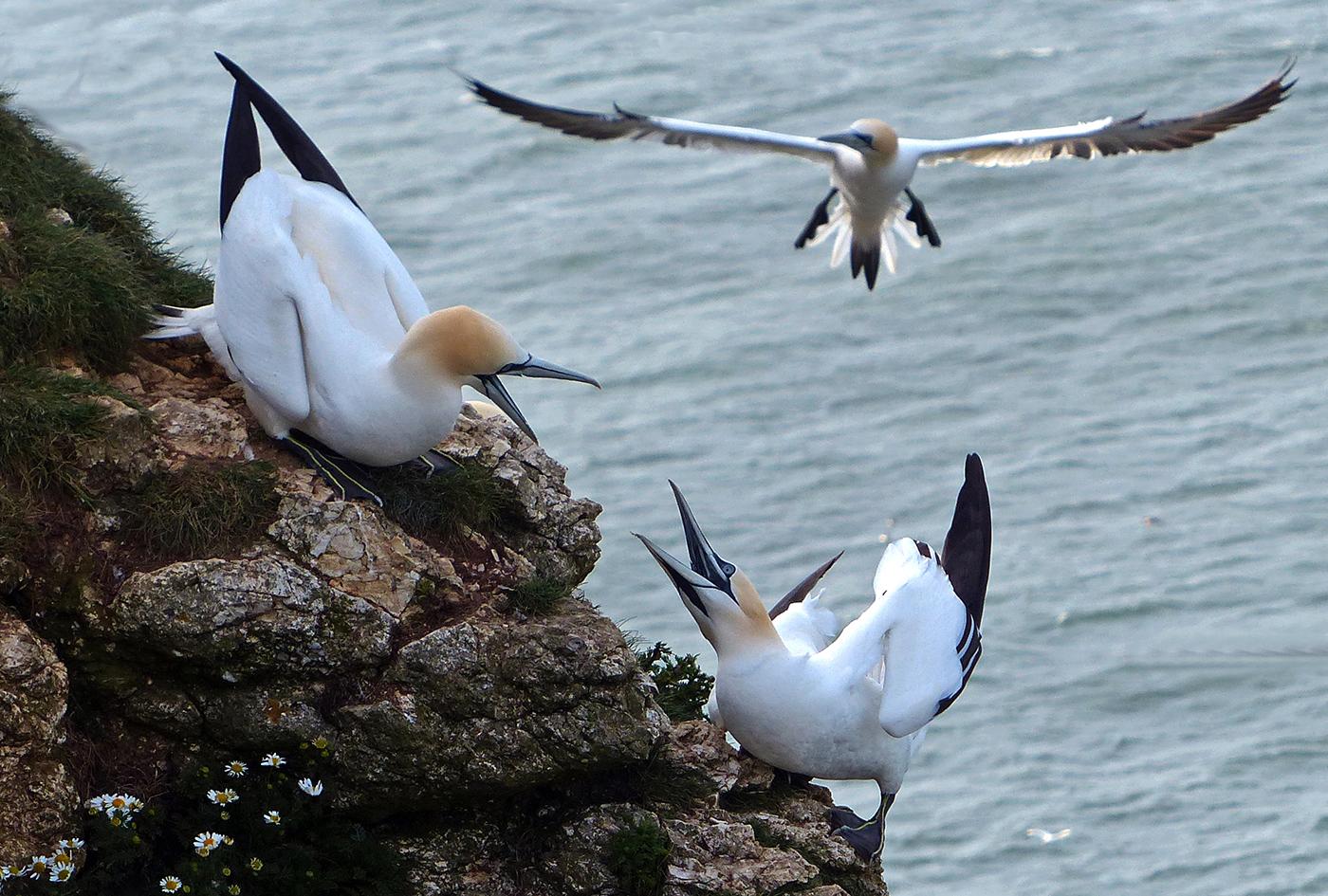 Gannets at Bempton - 2nd