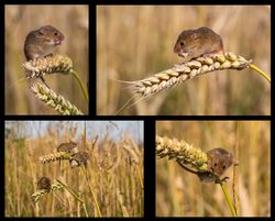 Harvest Mouse 1st