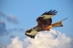 Soaring Red Kite