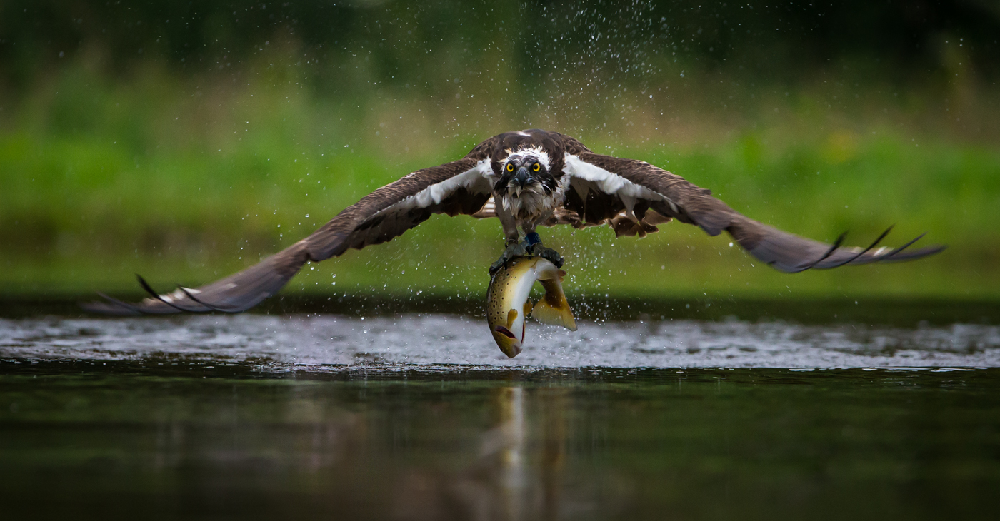 1st  Osprey with Brown Trout - Paul Tymon