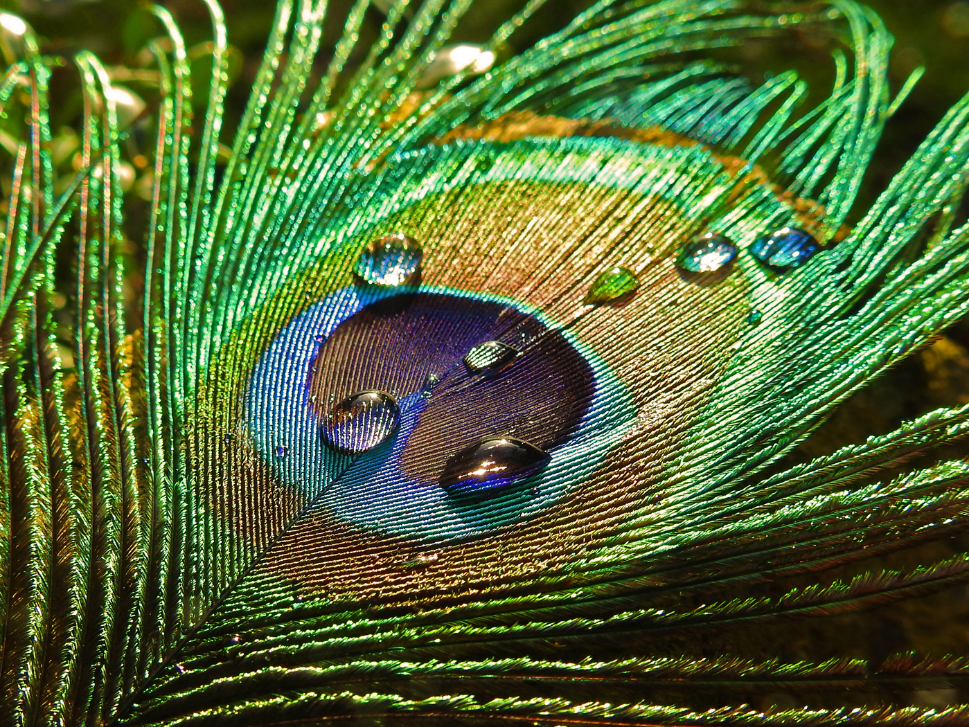 Peacock Feather 2nd Digitals