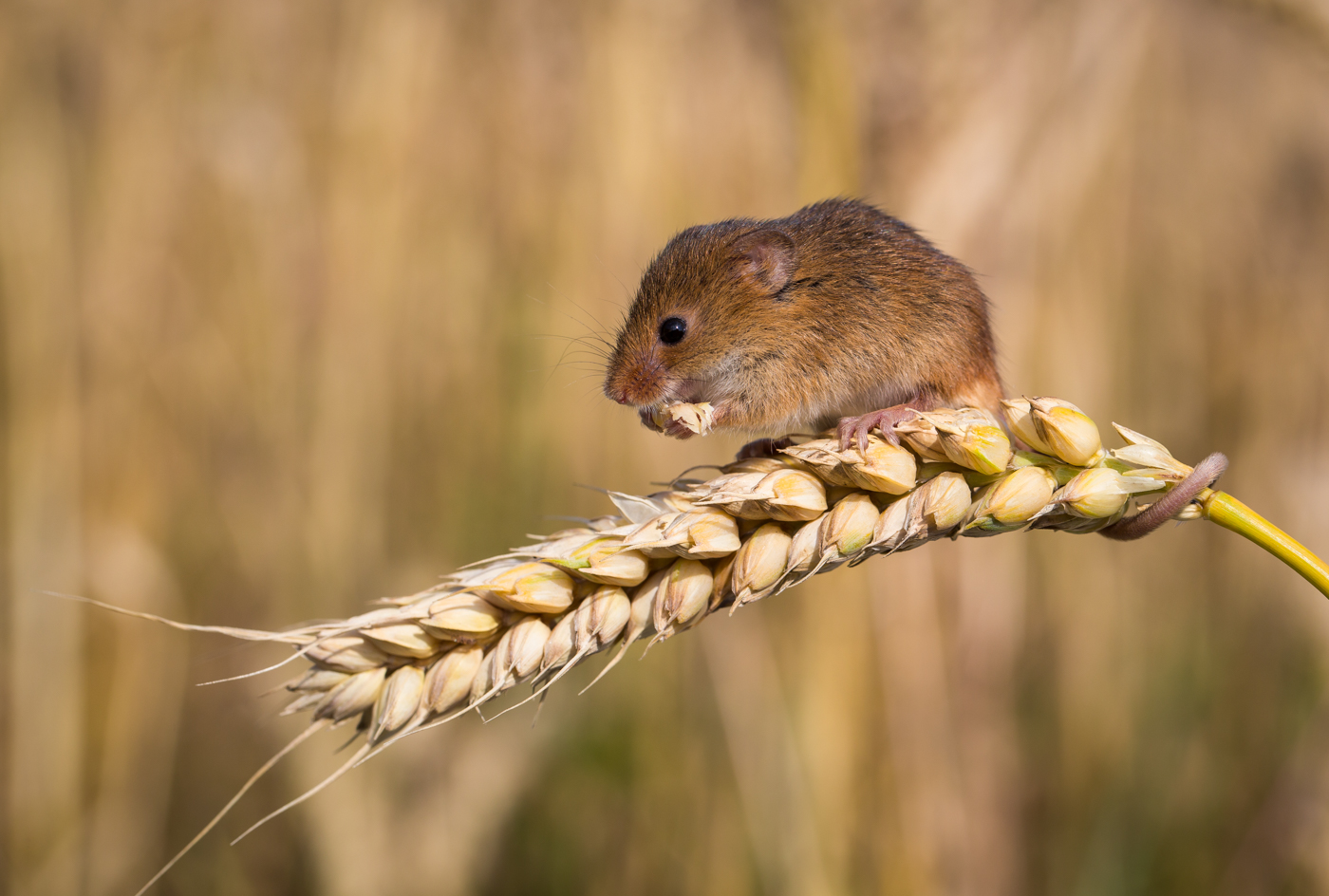 Harvest Mouse Lunch Break