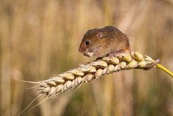 Harvest Mouse Lunch Break