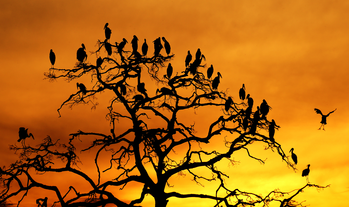Open Billed Storks Roosting 1st Digitals
