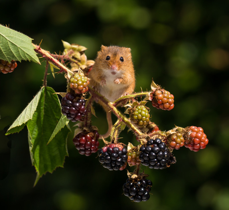 Harvest Mouse on Brambles - 1st Digitals