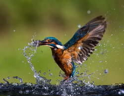 King Fisher - 1st