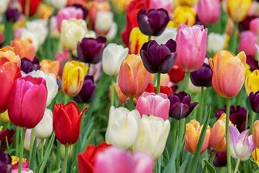 tulip-3365630_1920.jpg