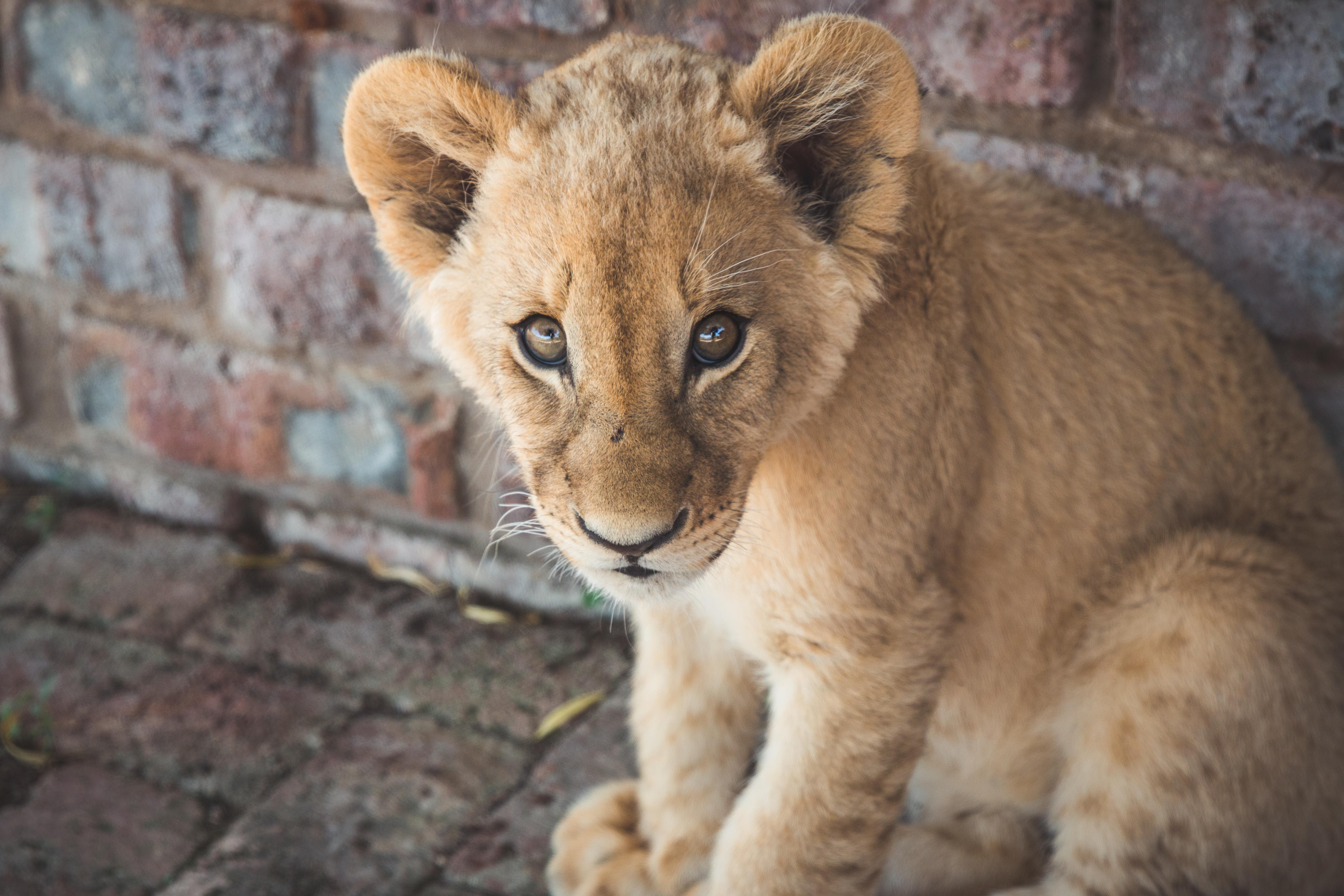 Makulu Lion Cub