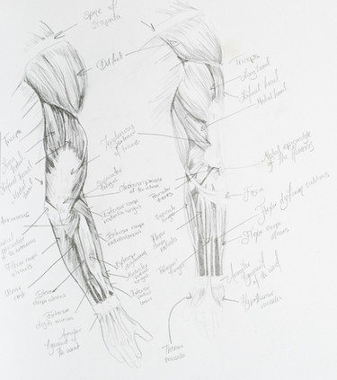 Arm Muscle Study
