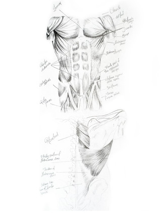 Chest and Shoulder Muscle Study