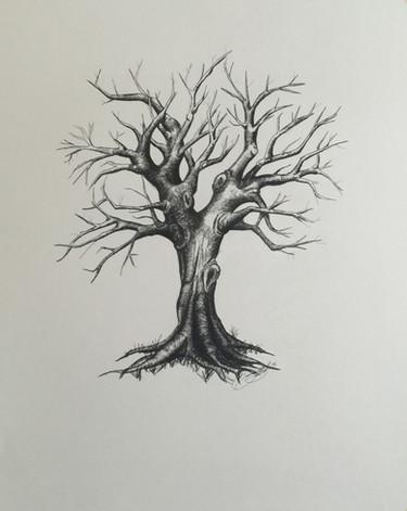 Anniversary Oak