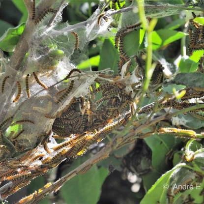 A Lagarta-do-cartucho-de-seda (Hylesia sp), instala-se entre os galhos e folhas da erva-mate