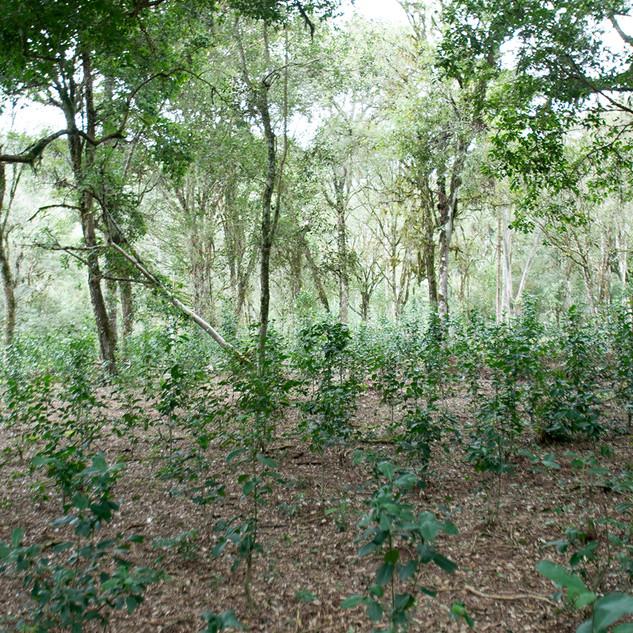 O adensamento do sub-bosque florestal com pequenas erveiras cuja genética é local é uma importante estratégia para a conservação da biologia da erva-mate, possibilitanto cruzamentos regionais e variabilidade genética. Os sistemas tradicionais aplicam esta prática e refutam a implantação de agrosistemas baseados em clones de plantas.