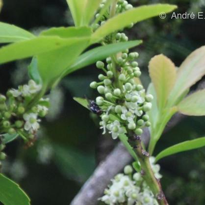 Assim como as varejeiras, moscas comuns também são frequentadoras assíduas das flores da erva-mate