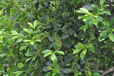 erva mate fruto verde cacador novembro 2