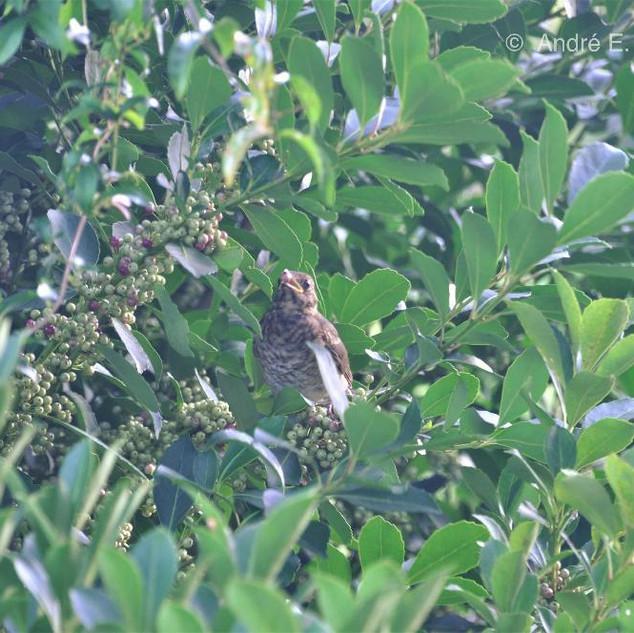 Turdus amaurochalinus, conhecido por Sabiá Bico-de-osso, agente dispessor das semente de erva-mate