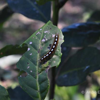 Lagarta-da-erva-mate (Thelosia camina), deixa seu rastro nas folhas da erva-mate, que ficam mordidas