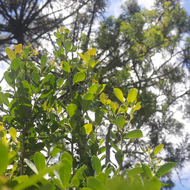 A associação biológica entre estas duas espécies é um dos relevantes indicadores que relacionam o manejo de ervais sombreados à conservação dos últimos remanescentes da Floresta com Araucárias no sul do Brasil.