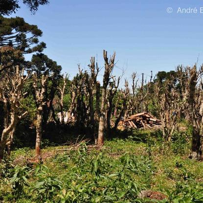 O sistema de poda cabide deixa a árvore sem nenhuma folha. Esta fotografia foi feita no município de São Mateus do Sul/PR
