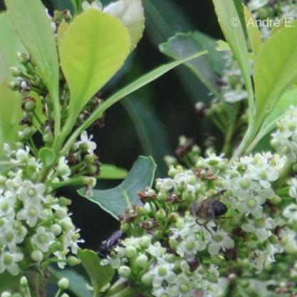 Abelhas podem produzir até mesmo mel a partir da flor da erva-mate