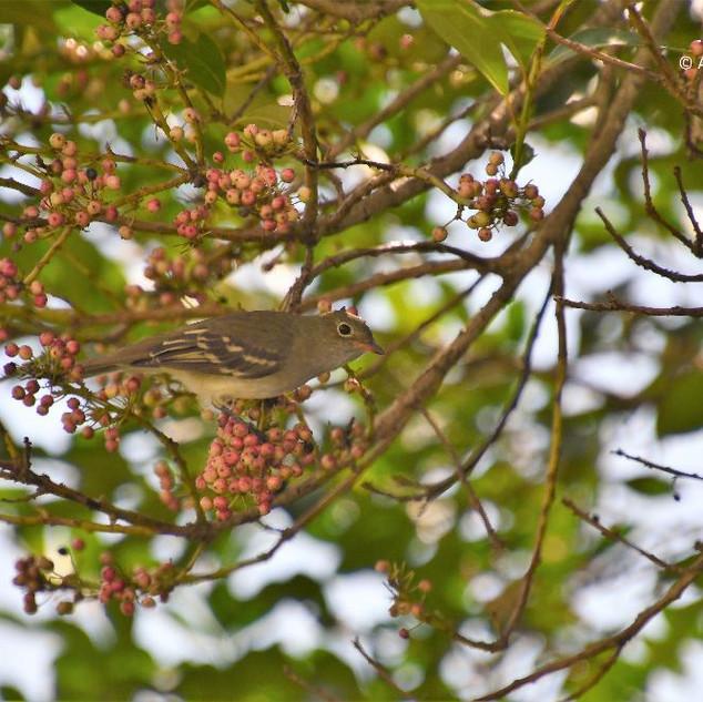 Guaracava-de-barriga-amarela (Elaenia flavogaster), também é uma das aves que se alimenta das sementes de erva-mate