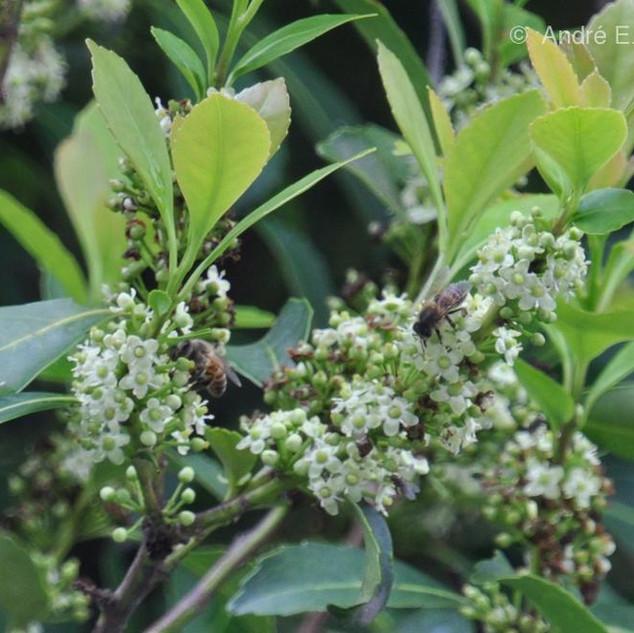 Flores femininas da erva-mate sendo polinizadas por abelhas