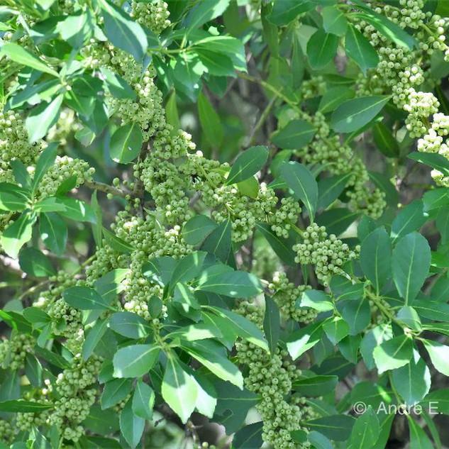 Frutos da erva-mate ainda jovens, antes do amadurecimento