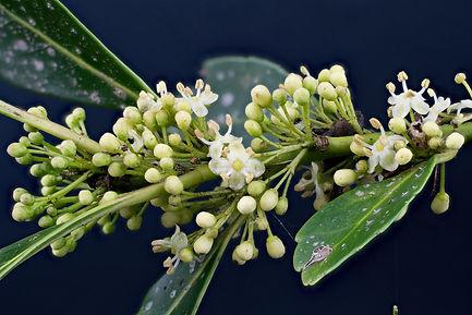 Aquifoliaceae Ilex paraguariensis arv en