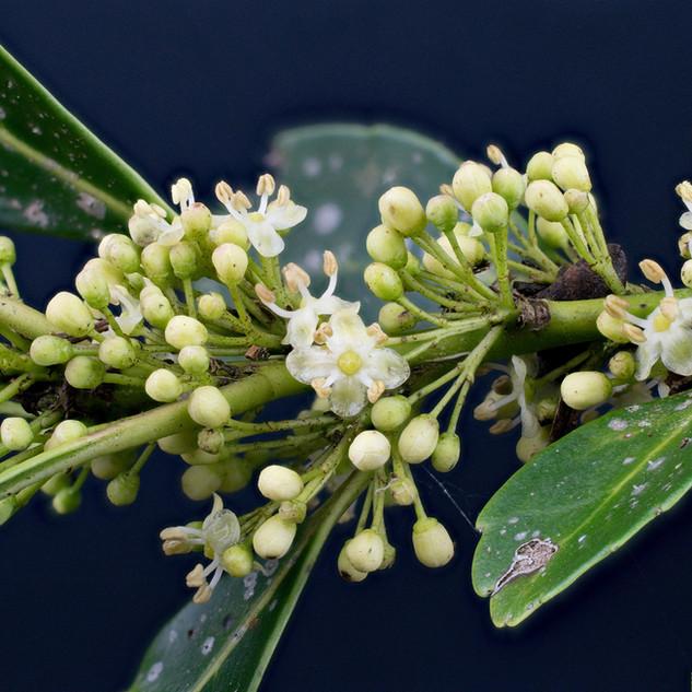 Flor erva-mate